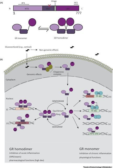 #trendsinendocrinologyandmetabolism #glucocorticoïdes Mécanismes Thérapeutiques des Glucocorticoïdes