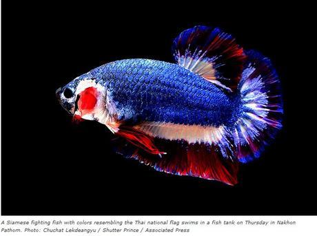 Betta Splendens prendra le titre de poisson national de la Thaïlande