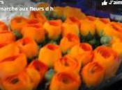 vidéo, anémones renoncules marché floral SICA Hyères
