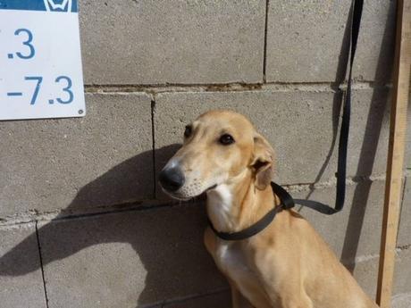 S. chiot lévrier galguito de 5 mois sable à  adopter à l'association sos chiens galgos