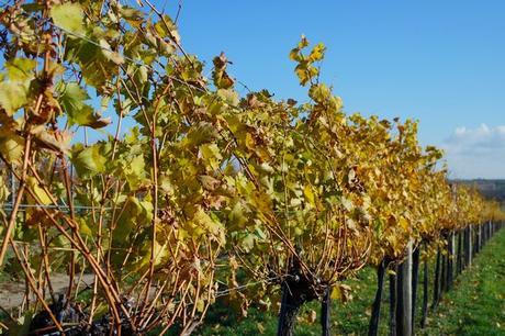 autriche weinviertel vignes