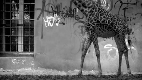 Tristesse et joie dans la vie des girafes