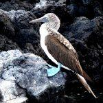voyage aux Galápagos blue footed boobies 2