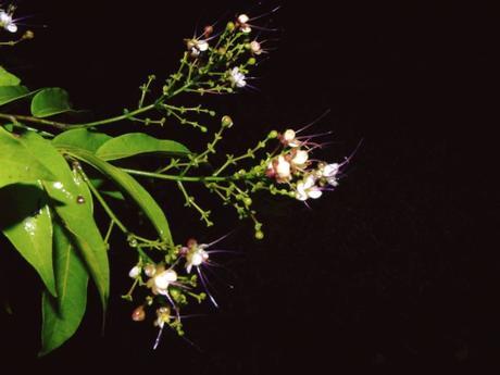 Une nouvelle fleur illumine la forêt tropicale d'Osa