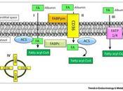 #trendsinendocrinologyandmetabolism #exercice #musclesquelettique #acetylCoA #acidesgras Régulation Moléculaire l'Oxydation Acides Gras dans Muscle Squelettique cours l'exercice aérobie