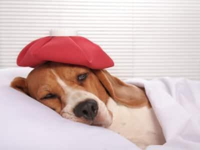 La migraine chez le chien existe t-elle ?