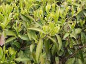 noir cultivar Karabeni