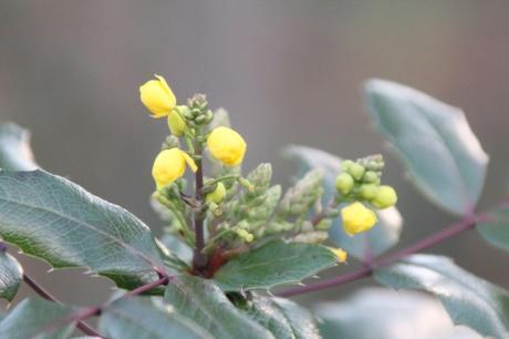 17 mahonia aquifolium veneux 31 dec 2017 018.jpg