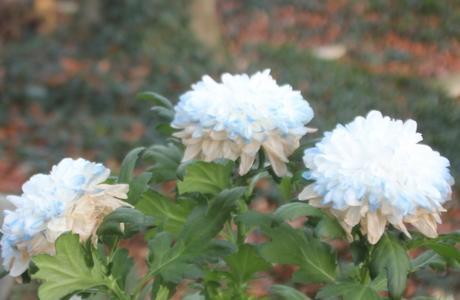 11 chrysanthème veneux 31 dec 2017 001.jpg