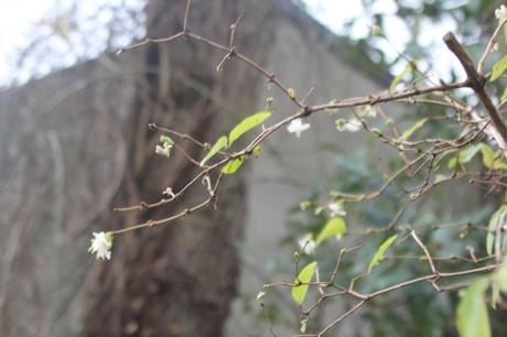 2 lonicera fragrantissima veneux 1 janv 2018 010.jpg