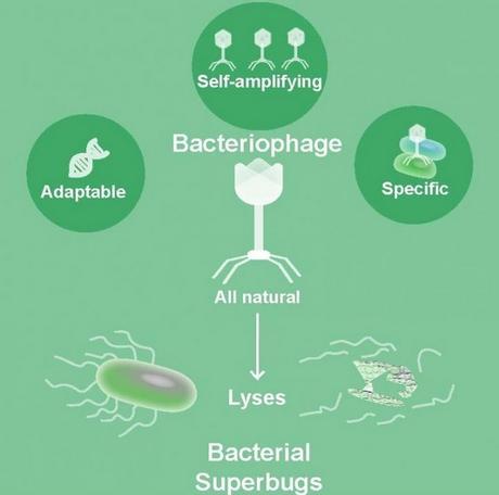 ANTIBIORÉSISTANCE : Phages contre superbactéries