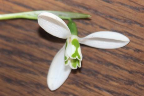 4 galanthus elwesii veneux 4 janv 2016 001 (2).jpg