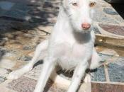 LEIA jeune lévrier Podenca mois poil long attend famille. Adoption chez chiens galgos.