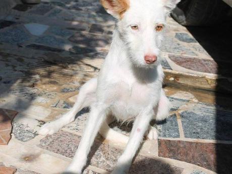 P: LEIA jeune lévrier Podenca de 18 mois au poil long attend sa famille. Adoption chez sos chiens galgos.