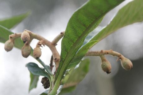 2 eriobotrya oliver veneux 9 janv 2018 056 (1).jpg
