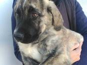 Pochola chiot femelle Mastine bringée octobre 2017 adopter chez chiens galgos