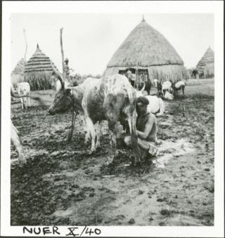 Nuer_a-woman-milking-a-cow_evans-pritchard_july-1935