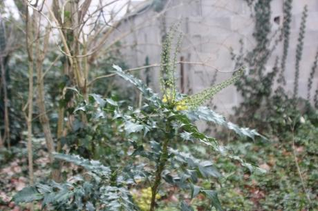 2 mahonia japonica veneux 9 janv 2018 050 (1).jpg