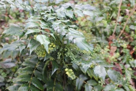 3 mahonia japonica veneux 9 janv 2018 050 (2).jpg