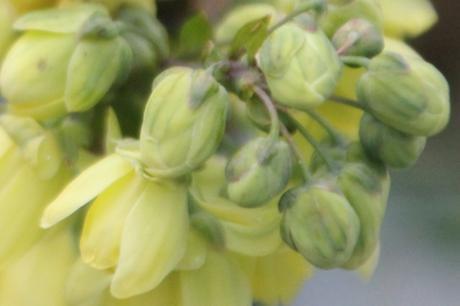 mahonia japonica rec veneux 9 janv 2018 050 (4).jpg