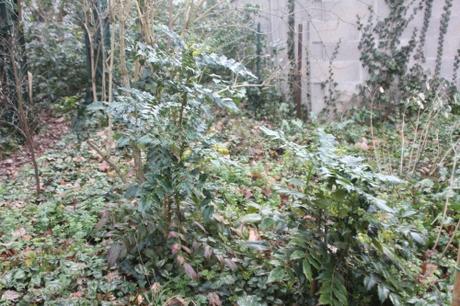 1 mahonia japonica veneux 9 janv 2018 051.jpg