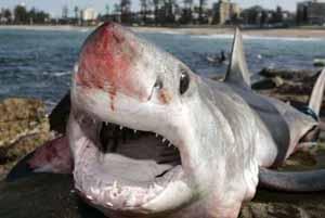 Onze espèces de requins de haute mer menacées d'extinction