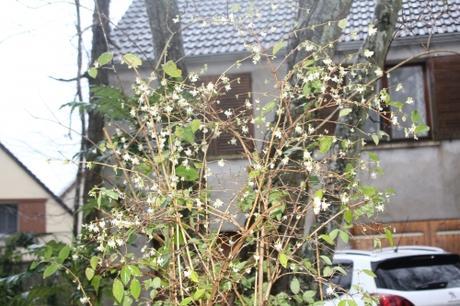 4 lonicera fragrantissima veneux 31 janv 2018 011.jpg