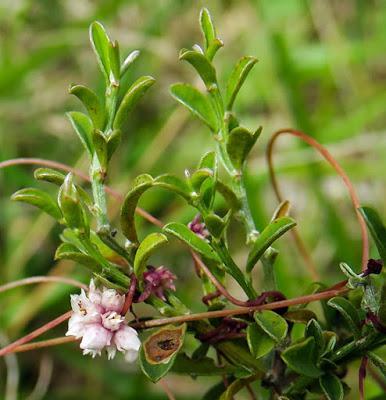Petite cuscute (Cuscuta epithymum)