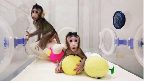Des singes clonés après Dolly il y a 22 ans
