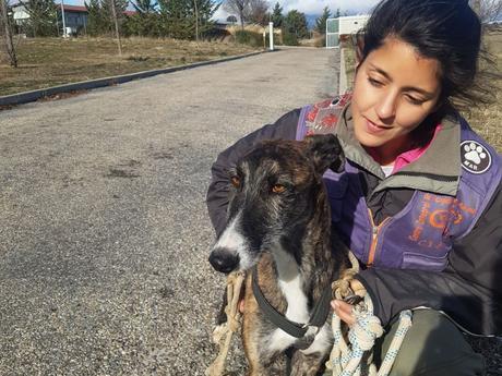 S. Breixo jeune lévrier galgo de 1an douceur et gentillesse à adopter chez sos chiens galgos