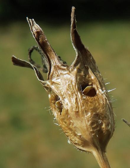 Campanule à feuilles de pêcher (Campanula persicifolia)