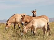 étude génomique remet question origines chevaux domestiques