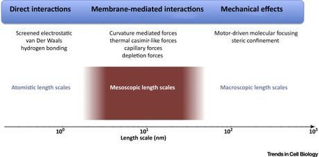 #trendsincellbiology #membranes #fluctuations #intéractions Agrégation sur les Membranes : Fluctuations et Plus Encore