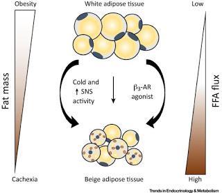 #trendsinendocrinologyandmetabolism #obésité #tissuadipeuxbrun #tissuadipeuxblanc Perte de poids et brunissement du tissu adipeux chez les humains : la poule ou l'œuf ?