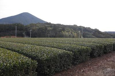 Tamaryokucha de Sonogi, cultivar Samidori
