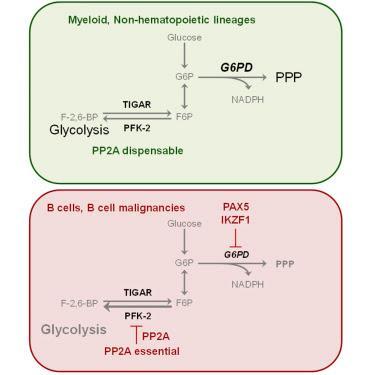 #Cell #lymphocyteB Le détournement de l'utilisation du Glucose Carbone lymphocyte B-spécifique révèle une vulnérabilité unique dans les malignités des lymphocytes B