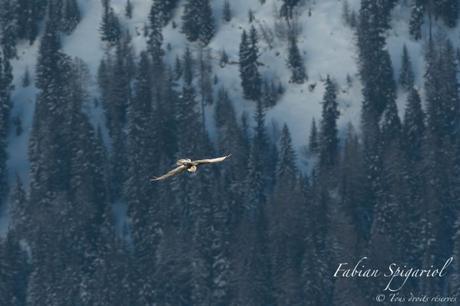 Gypaète barbu et aigle royal au cœur des alpes enneigées