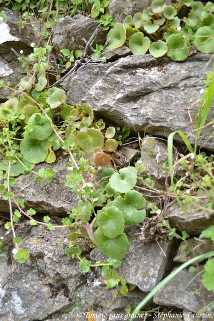 Nombrils de Vénus Garnis {plante sauvage}
