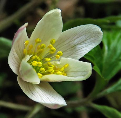 Anémone des bois (Anemone nemorosa)
