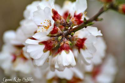 Les amandiers en fleurs