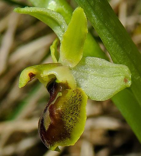 Ophrys petite araignée (Ophrys araneola)
