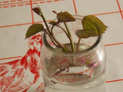 Comment produire des plants de patates douces soi-même
