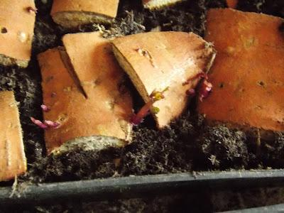 bourgeons sur patate douce