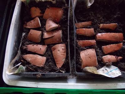 produire ses plants de patates douces