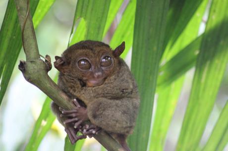 Le tarsier de Bohol aux Philippines
