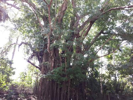 L'arbre séculaire de Balate à Siquijor