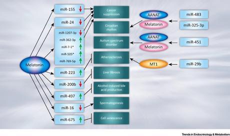 #trendsinendocrinologyandmetabolism #ARNnoncodant #mélatonine #interactionfonctionnelle #signalisation Interaction fonctionnelle entre la signalisation de la mélatonine et ARNs non codants