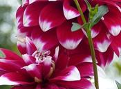 dahlia, fleur magique tellement belle