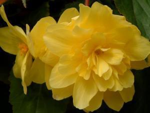 begonia-tubereux-005