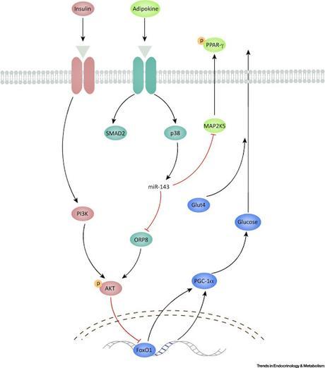 #trendsinendocrinologyandmetabolism #diabètedetype2 #microRNA-143 Un nouveau régulateur du Diabète de Type II : le MicroRNA-143